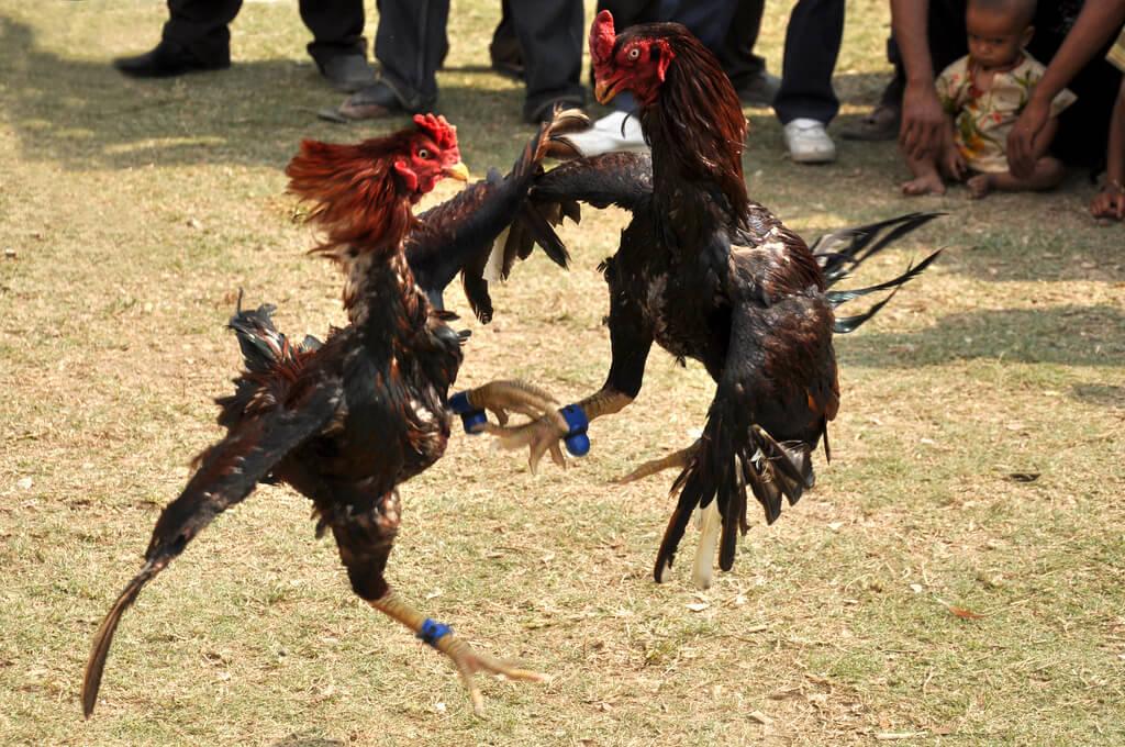 Pemberian Vitamin untuk Sabung Ayam di Situs S128
